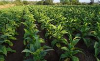 Cia Umbria: tabacco, senza contratti pluriennali non c'è futuro
