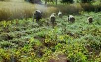 Danni alle coltivazioni causati dai cinghiali