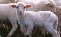 """Sempre meno agnello sulle tavole umbre. Allevatori CIA: prezzo crollato a 2,30 euro al chilo, -75% dei consumi in 5 anni """"Ormai vendiamo solo agli spagnoli e all'industria del pet food"""""""